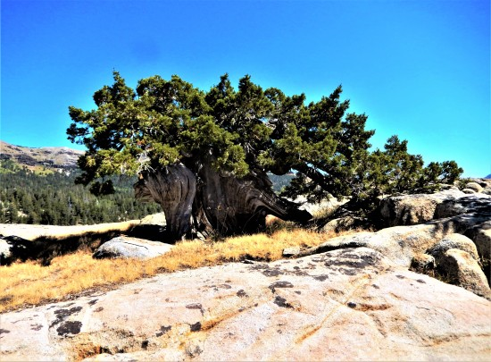 Caples Lone Cedar Tree