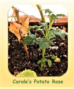 Carole's Potato Rose